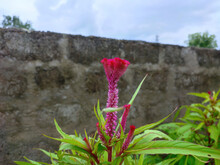 Closeup Shot Of A Cockscomb Plant With Flower