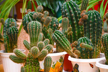 Various Cacti In Pots On The Table In The Room. Selective Focus