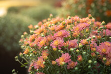 A Pot Of Pink And Yellow Mums
