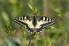 Scarce Swallowtail On A Flower