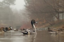 Northern Pintail In Park On Foggy Day