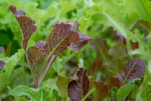 Large Healthy Pieces Of Green And Red Lettuce Greens Growing In A Garden On A Farm. It Has Vibrant Green Crispy Leaves. The Sun Is Shining On The Lush Fresh Vegetable Plants In A Row With Brown Dirt.
