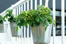 Multiple Metal Buckets Are Used As Vegetable Planters Hanging On A White Railing. The Pots Contain Small Lush Green Tomatoes On A Tomato Plant Vine. The Plant Has Yellow Flowers And Small Vegetables.