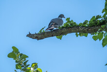 A Beautiful Plump Woodpigeon, Columba Palumbus, Sat On A Branch In Its Natural Environment In Spring