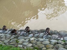 Wild Ducks Sleeping At The Pond Of The Head Were Chested Under The Wings
