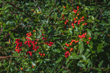 Pyracantha Is A Perennial Evergreen Shrub With Shiny Red Berries On A Sunny Autumn Day. Ornamental Shrub In Autumn. Plants Of The Black Sea Coast Of The Caucasus.