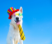 Funny Dog Wiht Party Sunglasses On Isolated Background