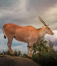 Vertical Shot Of A Common Eland Antelope Or Cape Elk (Taurotragus Oryx) With Tree And Sky Background