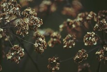 Dry Umbel Plant Head With Seeds Outdoors Close-up. Brown Minor Autumn Background. Dry Umbrella Of An Umbel Plant With Brown Seeds On A Green Background.