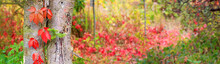 Autumn Landscape, Banner - A View Of The Foliage Of The Virgin Ivy Climbing The Tree Trunk In The Rays Of The Sun. Horizontal Background With Blurred Copy Space For Text