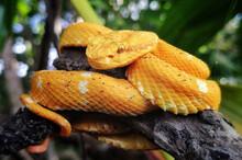 Eyelash Viper On A Tree Branch