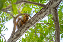 Eastern Fox Squirrel (Sciurus Niger) Sits In A Tree And Eats A Nut.