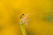 Close Up Of A Small Spider Glide To The Tip Of A Branch Through The Web Line With Yellow Background