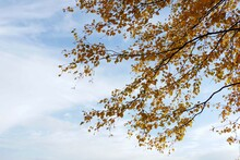 Birch Branches With Yellow Leaves Against A Blue Sky With Clouds. Beautiful Golden Natural Background. Wallpaper. Banner With Copy Space.