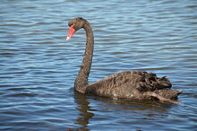 Black Swan On The Water