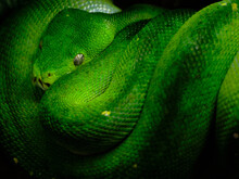 Beautiful Coiled Green Snake