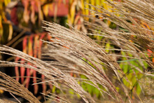 Flowering, Ornamental Garden Grass, Discolored Staghorn Sumac Leaves In The Background, Autumn.