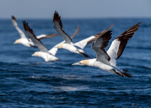 Cape Gannet (Morus Capensis) Taking Off In South Africa