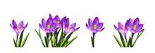 Set Of Purple Crocus Flowers And Leaves Isolated