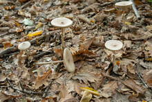 The White Fungus Macrolepiota Excoriata Grows In A Forest