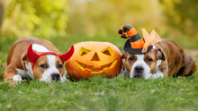 Two American Staffordshire Terrier Dogs Lying On The Grass Next To A Halloween Pumpkin