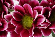 Purple Violet Spite Small Button Chrysanthemum Mum Flower Macro Closeup On White Background