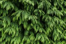 Abundant Green Vegetation Of Northern Spain , Ferns , Ivy ,and Conifers.