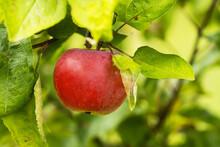 Ripening, Organic Reddish Apple In Estonian Orchard During Late Summer.