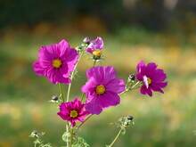 The Cosmos Or Mexican Aster Exists In Many Colors, Here In Bright Purple