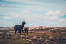 Llamas (camelidos) En Los Andes De Bolivia - Altiplano