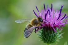 Closeup Shot Of A Honey Bee On A Centaurea Jacea Flower