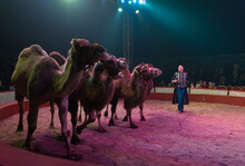 Circus Artist Performing With Camels On Stage