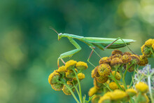 Mantis - Mantis Religiosa Green Animal Sitting On A Blade Of Grass In A Meadow.