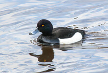 Tufted Duck Or Tufted Pochard On The Water In The Park