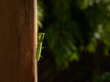 A Female Mantis Sitting On A Wooden Post