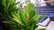 Beautiful Tropical Heliconia Parrot Flower Beside Swimming Pool