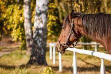 Portrait Of Thoroughbred Horse Head. Autumn Birch Tree. Fall Season On Pasture
