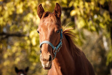 Foal Head In Autumn Foliage Background. Portrait Of Young Thoroughbred Horse Outdoors