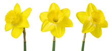 Three Yellow Daffodils Isolated On White. Delicate Spring Flowers