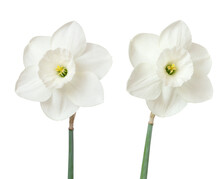 Two White Daffodils Isolated On White. Beautiful Spring Flowers