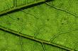 canvas print picture - Nahaufnahme der Strukturen eines grünes Blattes