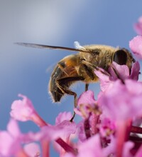 Common Drone Fly On A Pink Flower