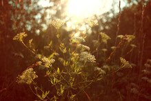 Blurred Daucus Or Queen Anne's Lace Flowers On Meadow Background, With Setting Sun