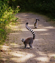 Cute Ring-tailed Lemurs Walking On A Narrow Forest Pathway, One Of Them Looking At The Viewer