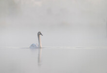 Beautiful Autumn Foggy Morning On Tha Lake With Swans Near My House