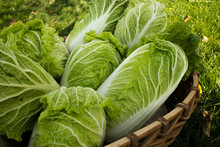 Peking Cabbage Harvest (l. Brassica Rapa Subsp.pekinensis), It Is Also Chinese Cabbage, Or Petsai, Or Salad