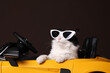 Funny cat with sunglasses in toy car against brown background