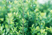Beautiful Green Shrub In The Morning Light. Natural Background. Soft Focus. Shallow Depth Of Field.
