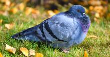 Turtledove Or Stone Pigeon, An Ordinary Pigeon (Latin. Columba Livia) In An Autumn Park