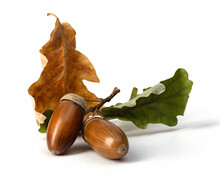 Two Ripe Acorns And Brown With Green Oak Leaves Isolated On White, Close Up. Autumn Composition.